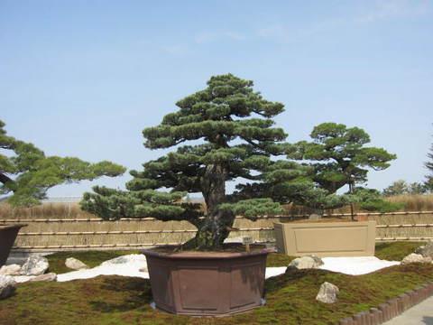 盆栽・1.JPG