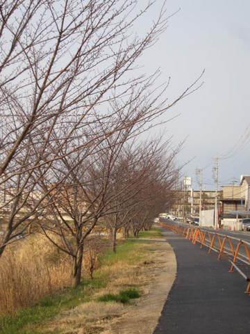 矢田川・桜1.JPG