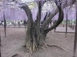 藤の木.JPG