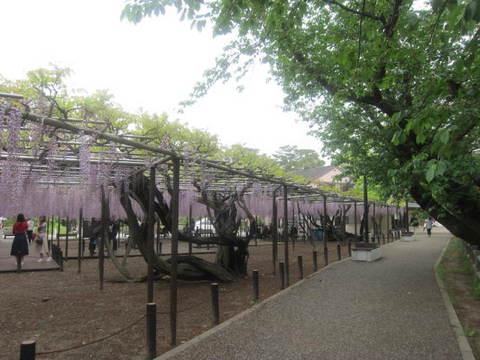 藤の木・1.JPG