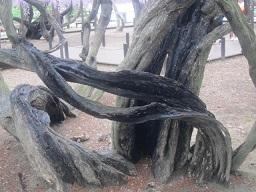 藤の木・2.JPG